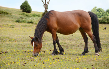 Bay pony in foal grazing in the New Forest