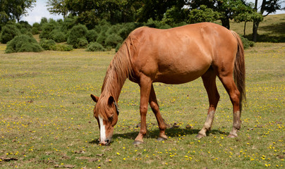 New Forest pony in the sunshine