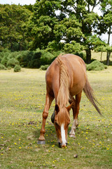 Chestnut pony grazes in the New Forest