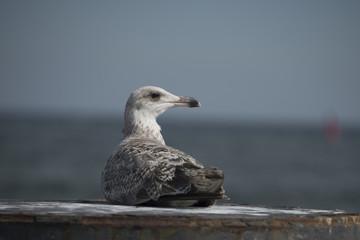 Sea gull in the port of Warnemünde