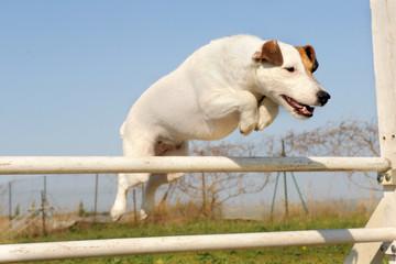jack russel terrier en agility