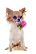 chiot chihuahua et rose