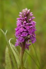 Baltic Marsh-orchid, Dactylorhiza baltica