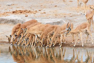 Herd of black-faced impala