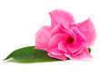 Rose dipladenia