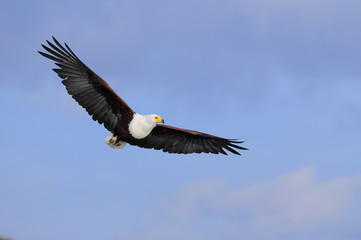 African fish eagle in fly at Naivasha Lake, Kenya
