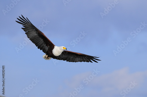 Fotobehang Eagle African fish eagle in fly at Naivasha Lake, Kenya