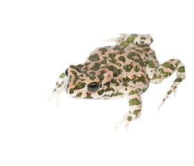 young european green toad isolated on white