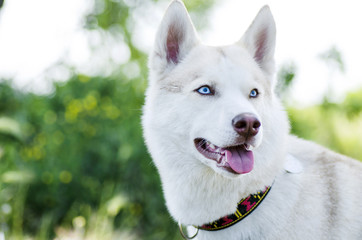 White siberian husky dog portrait outdoors. Beautiful husky with