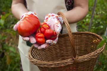 Pomodori raccolti nell'orto