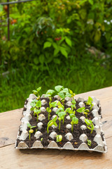 Piantine di fagioli appena nate da trapiantare