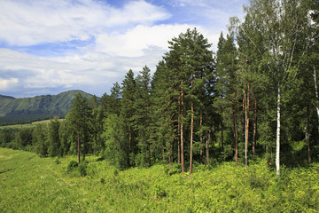 Beautiful forest in the Altai Mountains. Summer landscape.