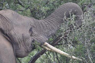 African Elephant eating a Thorn Bush
