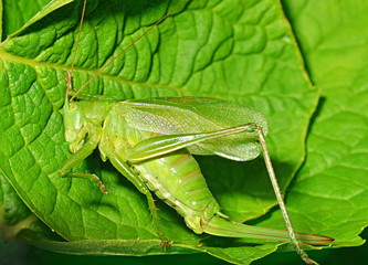 Tettigonia viridissima - great green bush cricket
