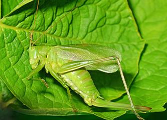 Tettigonia viridissima - great green bush cricket