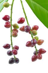 Kirschlorbeer (Prunus laurocerasus), Früchte