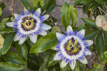 fleur passiflora