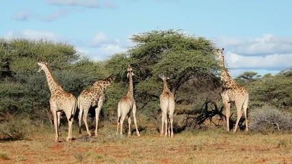 Giraffes feeding on Acacia trees