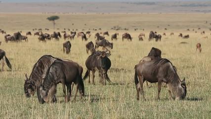 Blue wildebeest grazing on grassland, Masai Mara