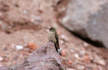Colibri au Chimborazo