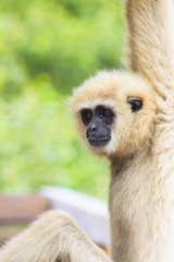 face of gibbon with blurry background