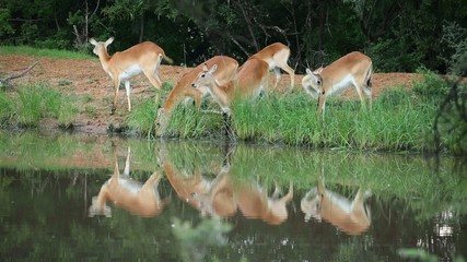 Red lechwe antelopes feeding and drinking