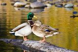 Pair of Mallard Ducks Resting in an Autumn Pond