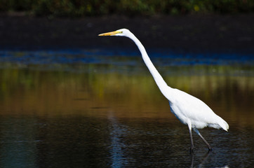 Great Egret Hunting for Fish in Autumn