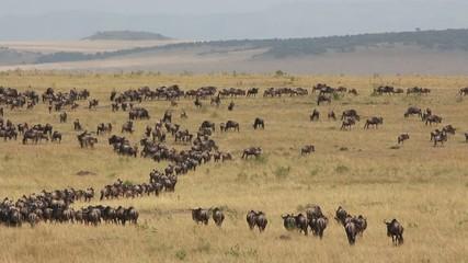 Migratory blue wildebeest, Masai Mara National Reserve