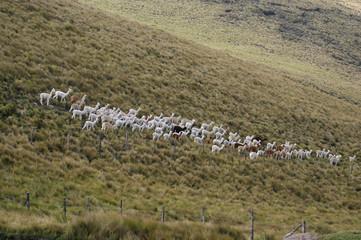 troupeau d'alpagas