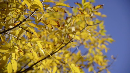 Warm colors moving autumn leaves close up over bright blue sky.