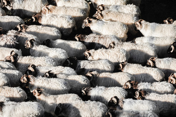 Flock of sheep at Pyrenees, Navarre (Spain)