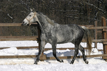Beautiful grey horse galloping at wintertime