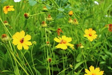 set of yellow daisies