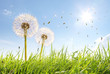 Wunderschöne Pusteblumen