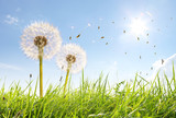 Fototapety Wunderschöne Pusteblumen
