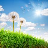 Fototapeta Wunderschöne Pusteblumen Landschaft