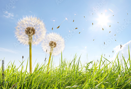 In de dag Paardebloem Wunderschöne Pusteblumen