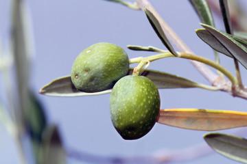 Aceitunas creciendo, Sauceda, Hurdes, España
