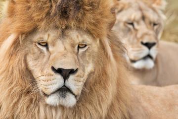 Vigilant lions