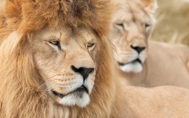 Vigilant lion and lioness