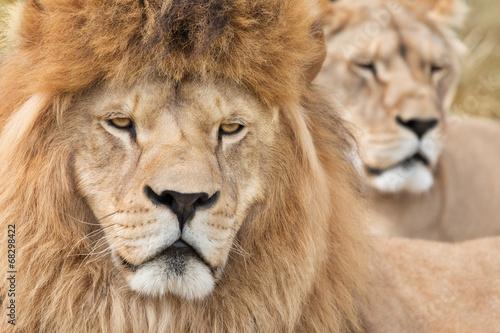 Papiers peints Hyène Vigilant lions