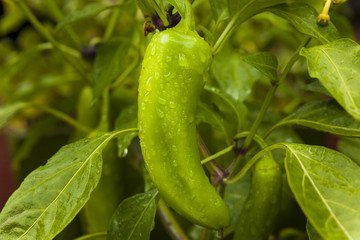 Raw Organic Jalapeno Pepper