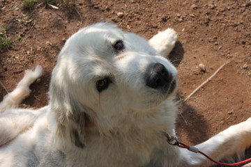 Great Pyrenees Looking Up