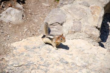 Richardson's ground squirrel Banff Canada