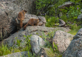 lovely marmots