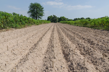 Cassava plantation after begin cultivation season