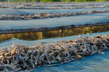 Dried anchovy dry by the sunlight