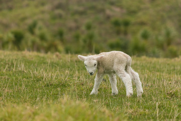 curious newborn lamb