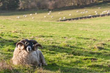 ram resting on grassy meadow